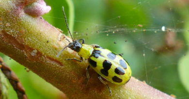 Bug Day (20): No-good Beetle