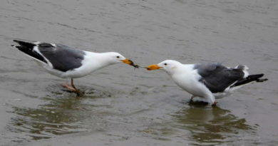 Gull Scrap