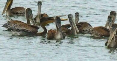 Pelicans Back