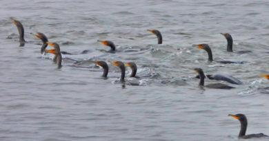 Cormorant Commandos