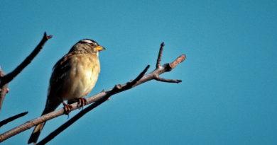 Sparrows Back