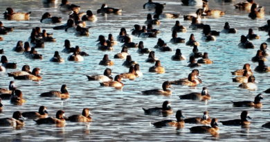Early Scaup