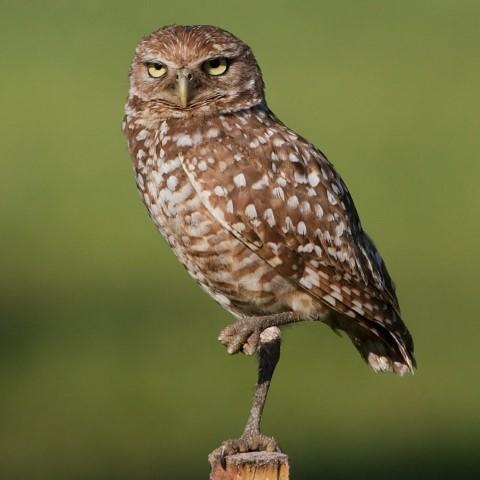 Burrowing Owl Video from Cornell Labs
