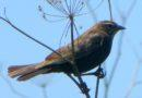 Red-winged Blackbird Female