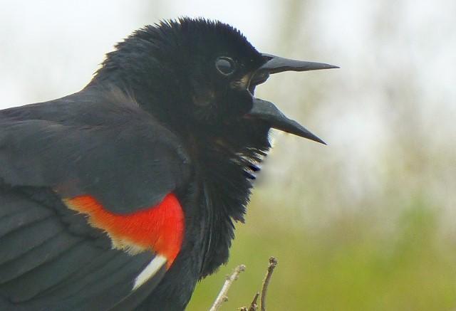 Belligerent blackbird, mating season