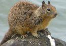 Ground Squirrel 5/16/2012