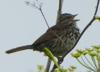 Song Sparrow in fennel