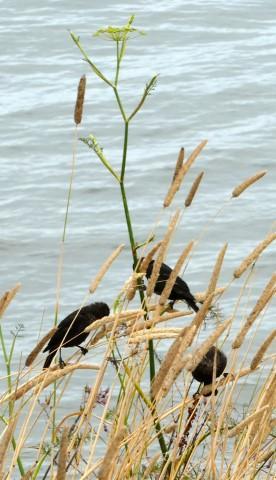 Unidentified black birds on fennel stalk
