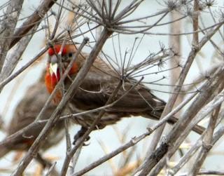 House Finch hiding in fennel