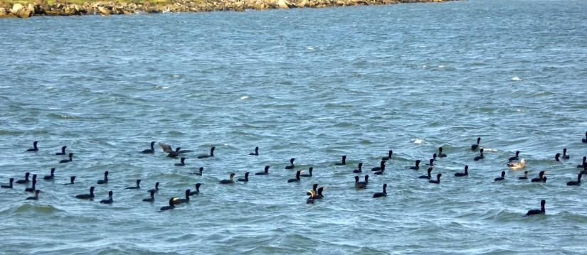 Cormorants in the North Basin (plus a gull)