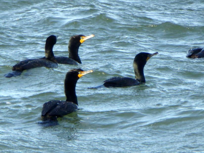 Black body, green eye, yellow bill with a downward hook at the tip:  Cormorant