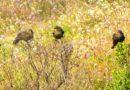 Female Red-winged Blackbirds Caucus at End of 2011 Nesting Season