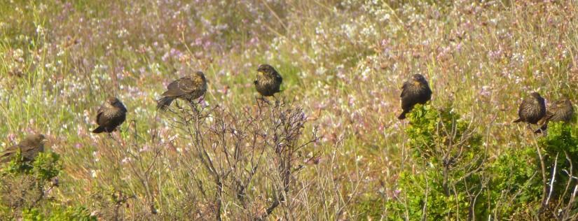 Caucus of Red-Winged Blackbird females, 6/27/2011