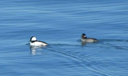 Bufflehead M and F