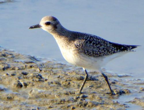 Black-bellied Plover (Juvenile)