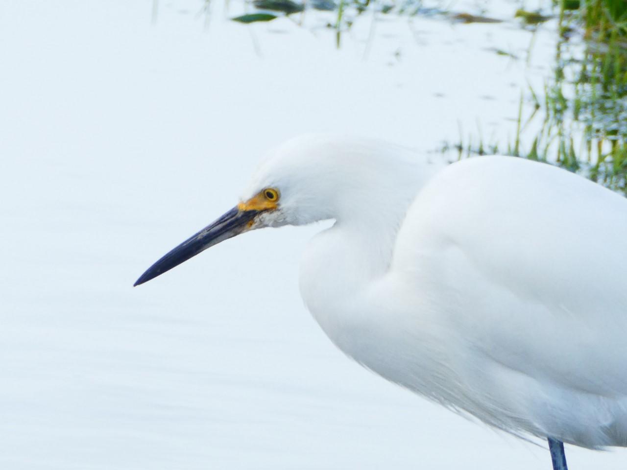 Puddle Draws Egret