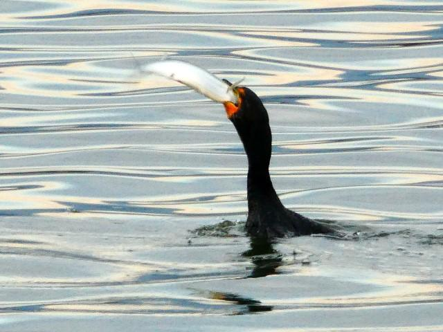 Cormorant Bags Big Fish and Celebrates