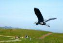 Great Blue Heron Flying Over Park Interior 4/18/2012