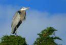 Great Blue Heron on Treetop