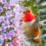 Stalking the Wild Hummingbird