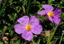 Great Year for Rock Rose
