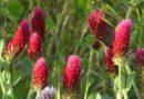 Now Blooming: Crimson Clover