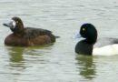 Scaup Return in Force
