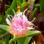 Now Blooming: Iceplant