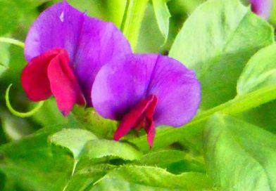 The Other Purple Vetch