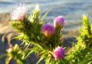 Great Year for Thistle, Bad for Blackbirds