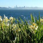 Now Blooming: Dutch Iris!?