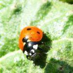 Spittlebugs, Ladybugs & Company