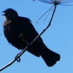 Red-winged Blackbird Without Red?