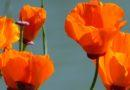 Poppies in their Glory