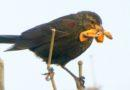 Blackbird Has Dinner for the Kids