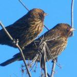 Bye, Bye, Blackbirds