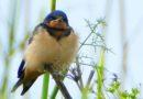 At Last: A Barn Swallow Pic