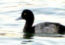 Solo Scaup Still Here