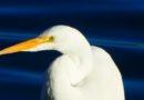 Great Egret in the Morning