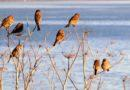 Fine Finches in the Fennel