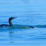 Cormorants Keeping Company