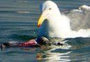 Gull Gore (R)