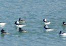 Bufflehead Invasion