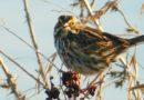 The Savannah Sparrow