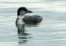 Thanksgiving Bird: Common Loon