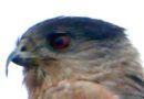 A Thanksgiving Bird: Cooper's Hawk