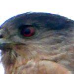 A Thanksgiving Bird: Cooper's Hawk
