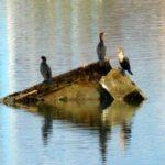 Cormorants on the Wreck