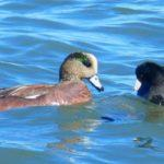 The Wigeons Are Back