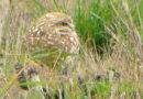 A Burrowing Owl, Feb. 5 2014